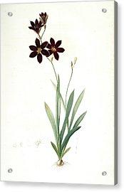 Ixia Grandiflora, Ixia à Grande Fleur, Redouté Acrylic Print