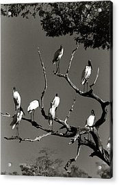 Jabiru Birds Acrylic Print