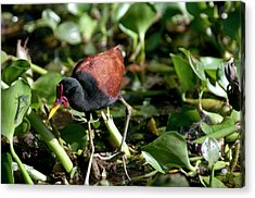 Jacanas Are Called 'jesus Birds' Acrylic Print