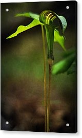 Jack-in-the-pulpit Acrylic Print by Rebecca Sherman
