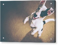 Jack Russell Jumping Acrylic Print by James Farley