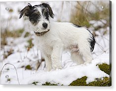 Jack Russell Terrier In Snow Acrylic Print