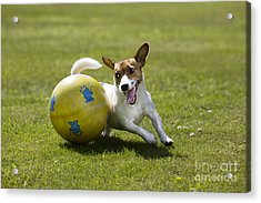 Jack Russell Terrier Plays With Ball Acrylic Print by Johan De Meester