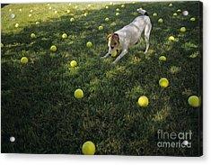 Jack Russell Terrier Tennis Balls Acrylic Print