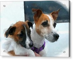 Jack Russells Acrylic Print by Betsy Cotton