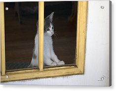 Jackson The Inquisitive Kitty Acrylic Print by Thomas Woolworth