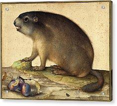 Jacopo Ligozzi Italian, 1547 - 1627, A Marmot With A Branch Acrylic Print