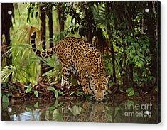 Jaguar Drinking Acrylic Print by Frans Lanting MINT Images