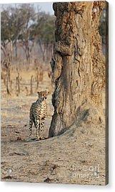 Jaguar In Hwange National Park Acrylic Print by BC Imaging