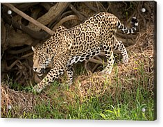 Jaguar Panthera Onca Foraging Acrylic Print by Panoramic Images