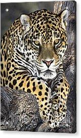 Jaguar Portrait Wildlife Rescue Acrylic Print by Dave Welling