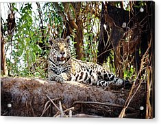 Jaguar Resting In The Shade Acrylic Print