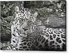 Jaguar Acrylic Print by Rich Collins