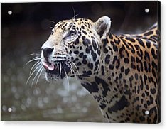Jaguar Sticking Out Tongue Acrylic Print