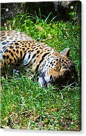 Jaguar's Slumber Acrylic Print