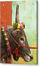 Acrylic Print featuring the photograph Jallikattu Bull by Dennis Cox WorldViews