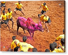 Acrylic Print featuring the photograph Jallikattu Bull Fighting by Dennis Cox WorldViews