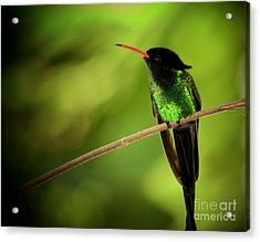 Jamaican Hummingbird 2 Acrylic Print