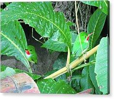 Jamaican Toadies Acrylic Print