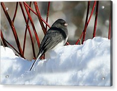 January Snow In New England Acrylic Print