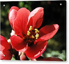 Acrylic Print featuring the photograph Japanese Apple Flower by Vesna Martinjak