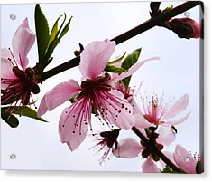 Japanese Cherry Tree Acrylic Print by Camille Lopez