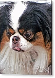 Acrylic Print featuring the photograph Japanese Chin Dog Portrait by Jim Fitzpatrick