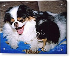 Japanese Chin Dogs Hanging Out And Telling Stories Acrylic Print by Jim Fitzpatrick