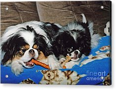 Japanese Chin Dogs Hanging Out Acrylic Print by Jim Fitzpatrick