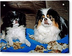 Japanese Chin Dogs Looking Guilty Acrylic Print by Jim Fitzpatrick