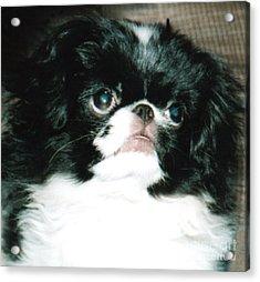 Japanese Chin Puppy Portrait Acrylic Print by Jim Fitzpatrick