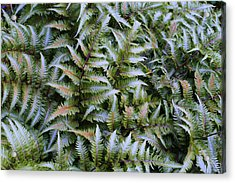 Acrylic Print featuring the photograph Japanese Ferns by Kathryn Meyer