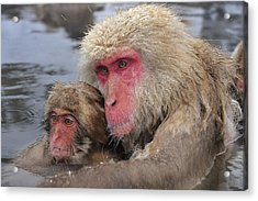 Japanese Macaque Mother And Young Acrylic Print