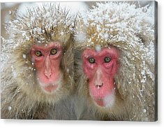 Japanese Macaques Acrylic Print by Dr P. Marazzi