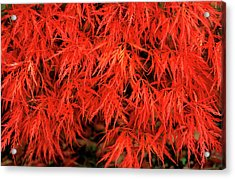 Japanese Maple 'dissectum Nigrum' Acrylic Print by Andrew Ackerley/science Photo Library