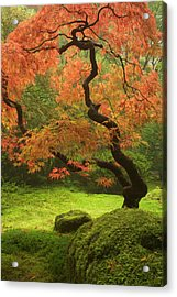 Japanese Maple In Fall Color Acrylic Print