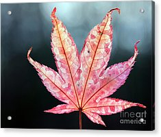 Acrylic Print featuring the photograph Japanese Maple Leaf - 1 by Kenny Glotfelty
