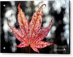 Japanese Maple Leaf - 2 Acrylic Print