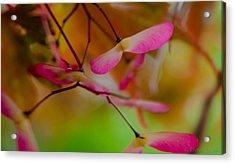 Japanese Maple Seedling Acrylic Print by Brenda Jacobs