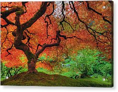 Japanese Maple Tree In Autumn Acrylic Print