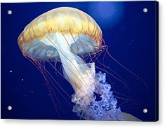 Japanese Sea Nettle Chrysaora Pacifica Acrylic Print
