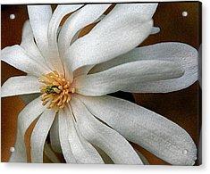 Japanese Tulip 2 Acrylic Print by Alan Olansky