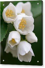 Jasmin Flowers Acrylic Print