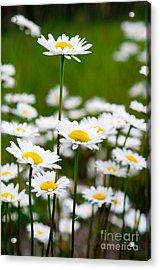 Jasper - Oxeye Daisy Wildflower 2 Acrylic Print