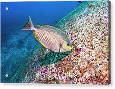 Java Rabbitfish Grazing On Algae Acrylic Print by Georgette Douwma/science Photo Library