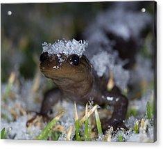 Jefferson Salamander Acrylic Print by Brian Magnier