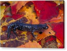 Jefferson Salamander Acrylic Print