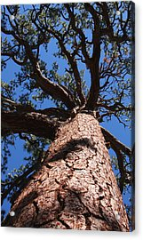 Jeffrey Pine Acrylic Print
