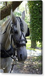 Jekyll Horse Acrylic Print by Laurie Perry