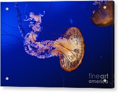 Jelly Fish 1 Acrylic Print